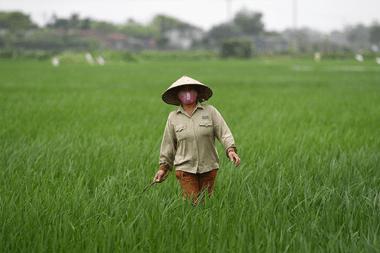 Una agricultora que usa un barbijo como medida preventiva contra la propagación del nuevo coronavirus, trabaja en un arrozal en Hanoi