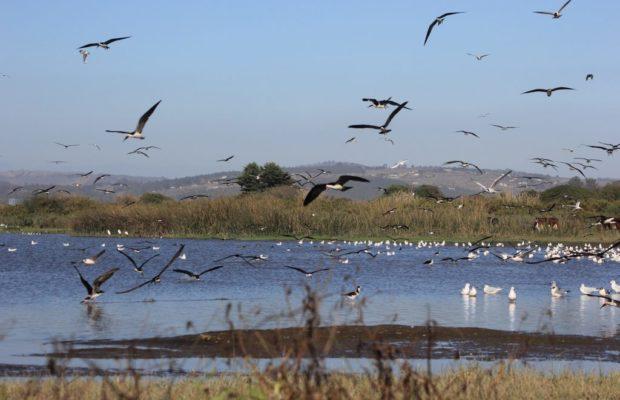 Chile. Se oficializa la creación del Santuario de la Naturaleza Humedal Río Maipo