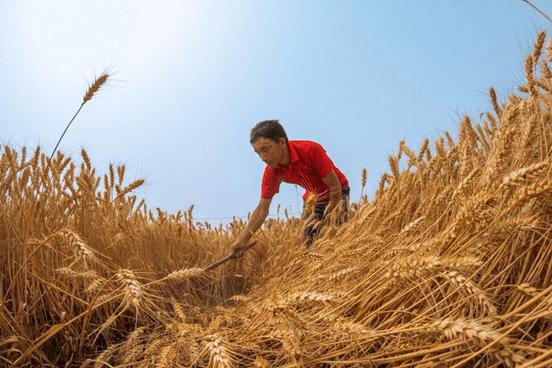 China. En junio importó 80,6% más de trigo que el año pasado