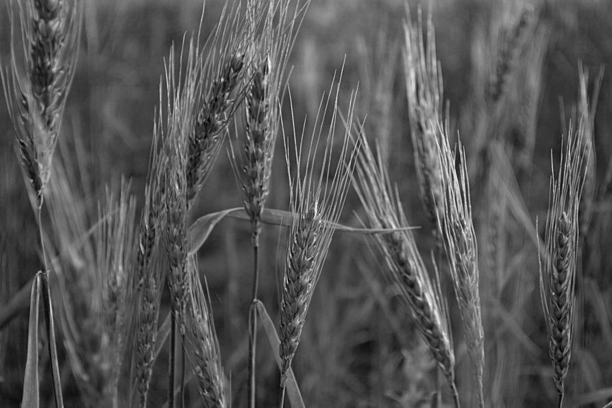 Campo-trigo-alimentación-2