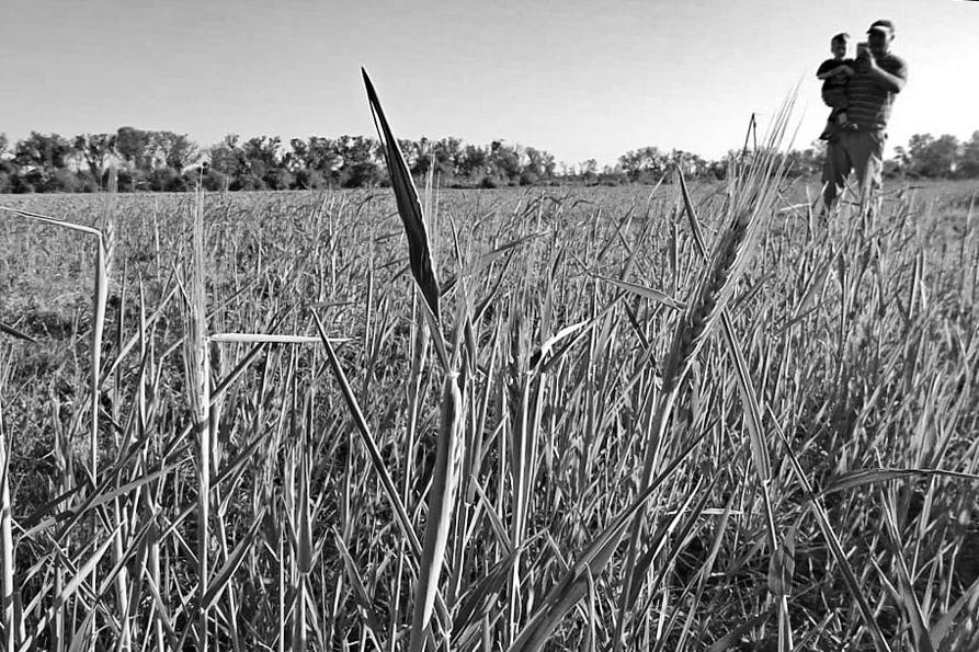 Campo-trigo-alimentación-10