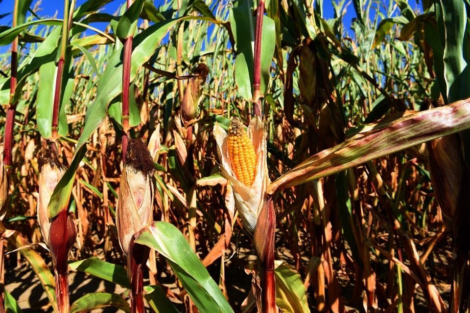 El gobierno convocará al diálogo a los actores del mercado del maíz.