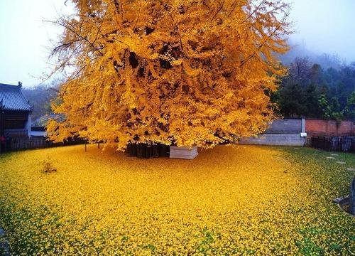 Japón. Hiroshima: El Ginko, como símbolo de la vida, en la destrucción norteamericana de mundos