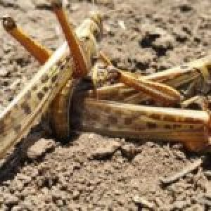 África. Una plaga de langostas «de proporciones bíblicas» azota el continente / Cuatro claves sobre la deuda africana