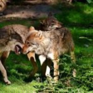 Perú. Danza de lobos del bosque amazónico