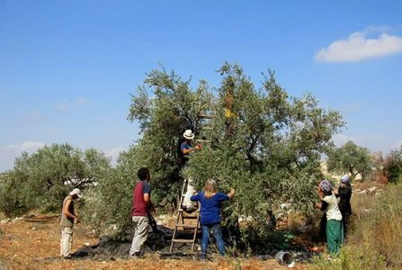 Palestina. Agricultores de Gaza cosechan aceitunas con medidas de precaución por COVID-19
