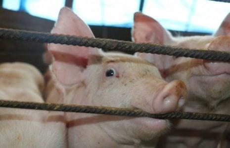Argentina. Capitanich dio luz verde a las granjas porcinas en el Chaco: entrarán dólares, contaminación y enfermedades, pero lo niegan