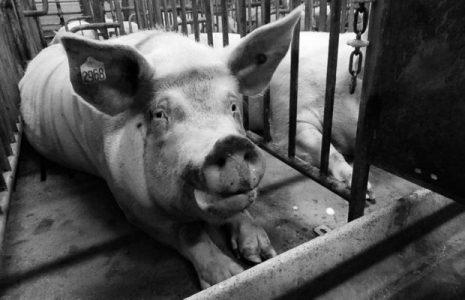 Argentina. Megafactorías porcinas: la salud hecha un chiquero