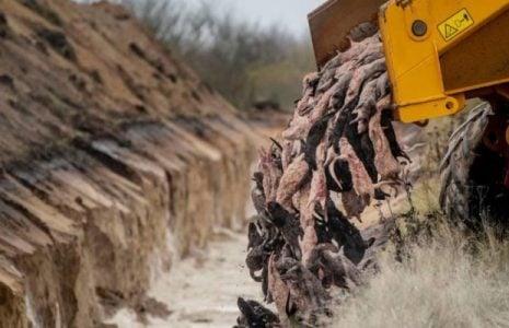 Ecología social. Mandatarios dementes + destrucción del habitat: En Dinamarca los visones sacrificados salieron a la superficie