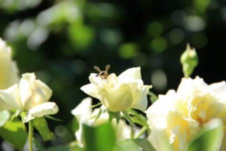 Ecología Social. Costa Rica: El armageddon de las abejas