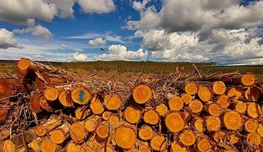 Brasil. La amenaza del monocultivo de eucalipto en el norte de Minas Gerais