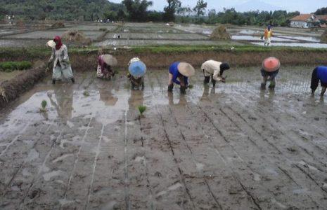 Ecología Social. ¿Pueden las aplicaciones agrícolas hacer que vuelvan a los campos los productores de Indonesia?