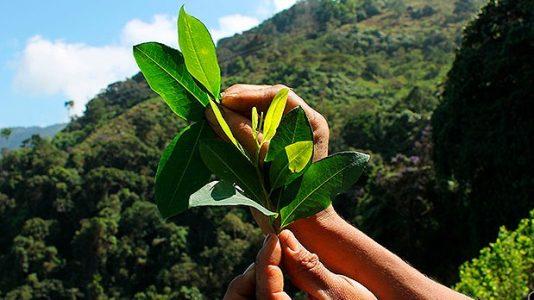 Colombia. El alto costo de apostarle a la sustitución de cultivos ilícitos