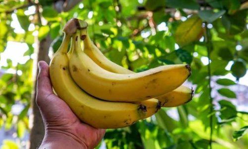 Ecología Social. El cambio climático podría dejarnos sin plátanos
