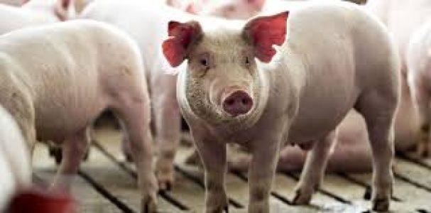 Argentina. Por qué hay que temerle a las megagranjas porcinas