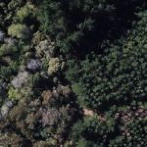 Chile. Día de los Bosques en el Biobío: la «pandemia» es el monocultivo forestal