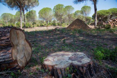 La Junta arrasa el pinar Dehesa de las Yeguas con especies protegidas – La otra Andalucía