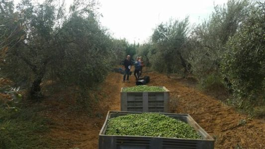 Se disparan las importaciones de aceituna de mesa – La otra Andalucía